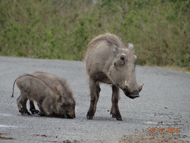 Warthog with her 3 piglets drinking out of the potholes in Hluhluwe Imfolozi game reserve