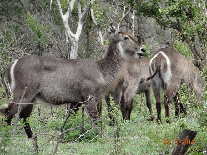 Waterbuck seen on our Durban big 5 safari tour