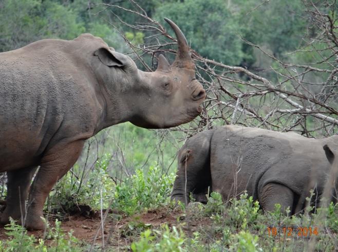 White Rhino waking up on our Durban safari to Hluhluwe Imfolozi game reserve