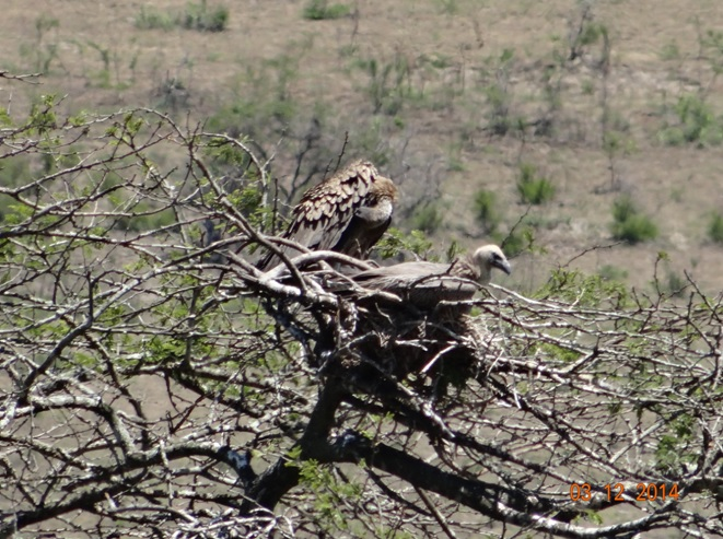White backed Vulture on a nest in Hluhluwe Imfolozi game reserve