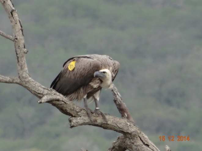 White backed Vulture with a patagial tag on its wing seen during our 1 day Durban safari tour