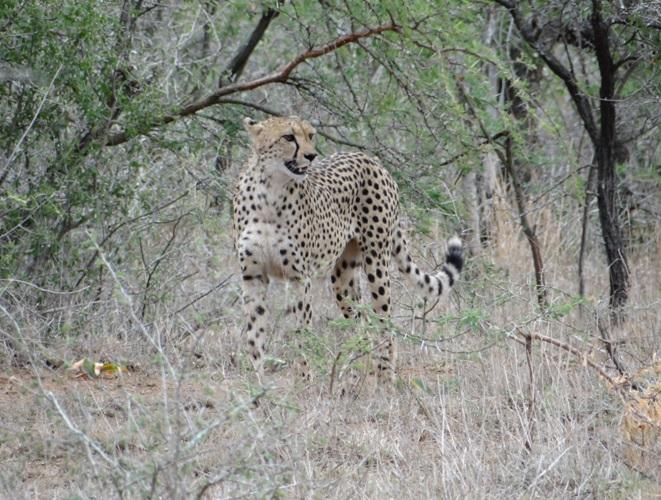 Wild Cheetah in Hluhluwe Imfolozi game reserve on our Durban safari tour