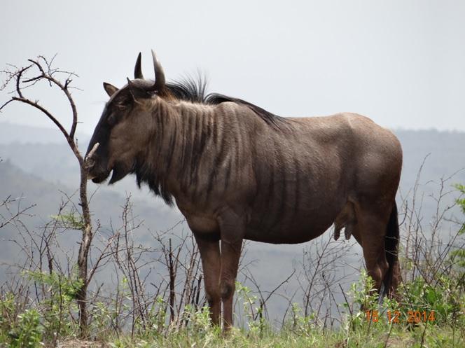 Wildebeest seen on our Durban day safari tour