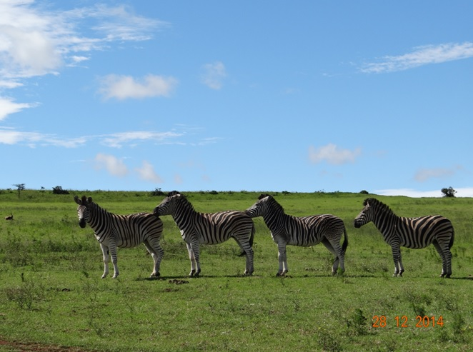 Zebra all in a line on our Durban Safari and Cultural tour