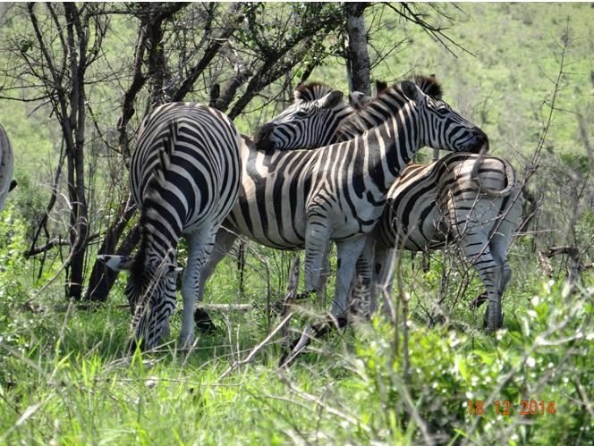 Zebra in Hluhluwe Imfolozi game reserve