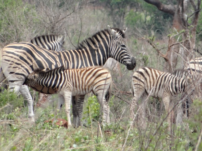 Zebra on day one of our Safari tour from Durban
