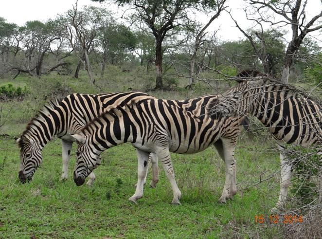 Zebras seen on our Durban day safari tour