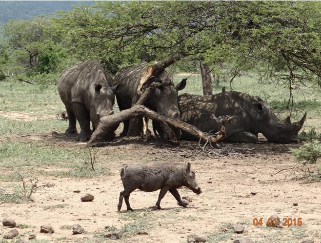3 Rhinos and a warthog seen on our Durban safari tour
