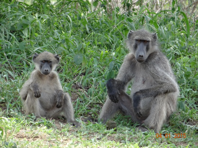 Baboons relaxing near the river on our Safari from Durban