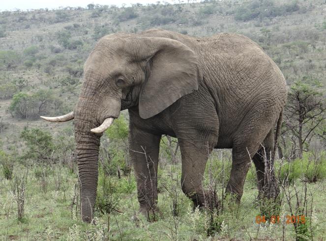 Big Elephant walks past us on our Safari in Hluhluwe Imfolozi game reserve