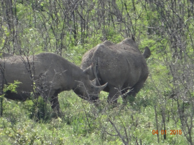 Black Rhino mother and calf seen in Hluhluwe Imfolozi on our Safari tour