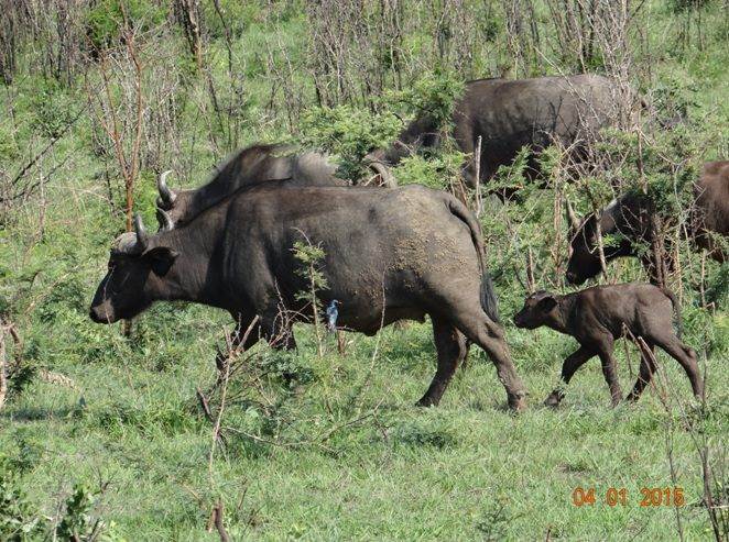 Buffalo mother with new born calf on our Hluhluwe Imfolozi safari