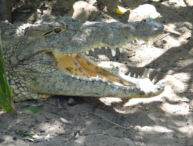 Crocodile at St Lucia on our Durban day safari tour