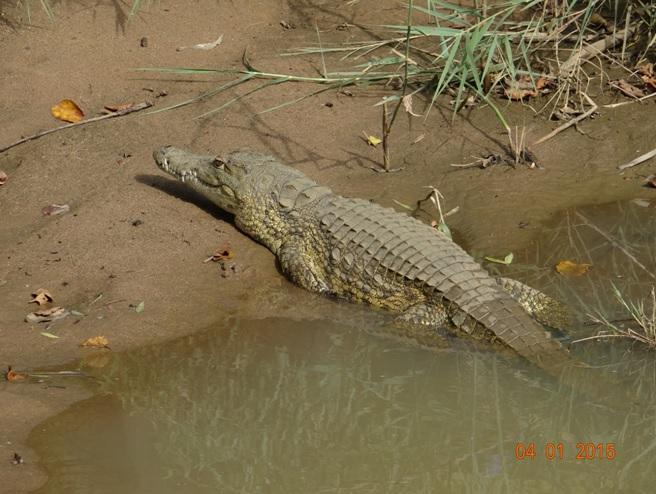 Crocodile seen on our Durban safari tour