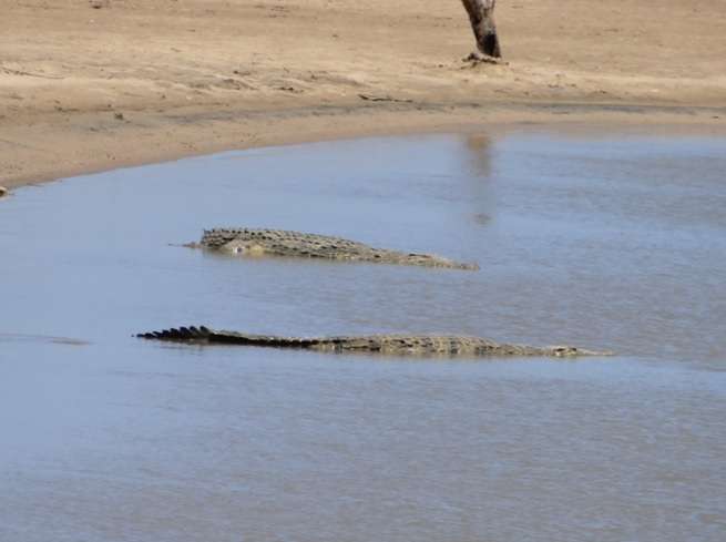 Crocodiles waiting at the estuary mouth for fish on our Durban day safari tour