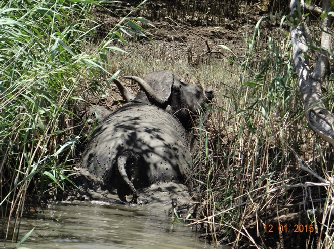 Dead Buffalo in the estuary of St Lucia on our Durban day safari tour