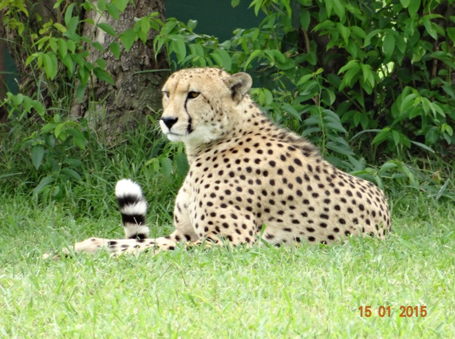 Durban 3 day safari tour; Cheetah at Cat rehabilitation center