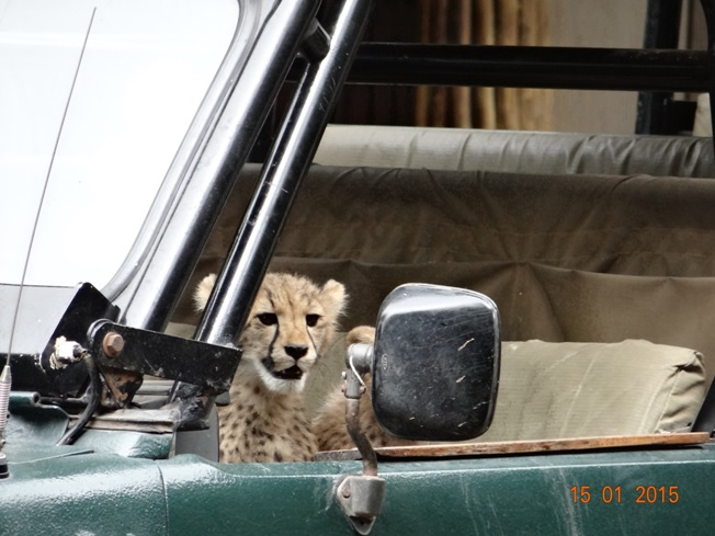 Durban 3 day safari tour; Cheetah cubs in game viewer