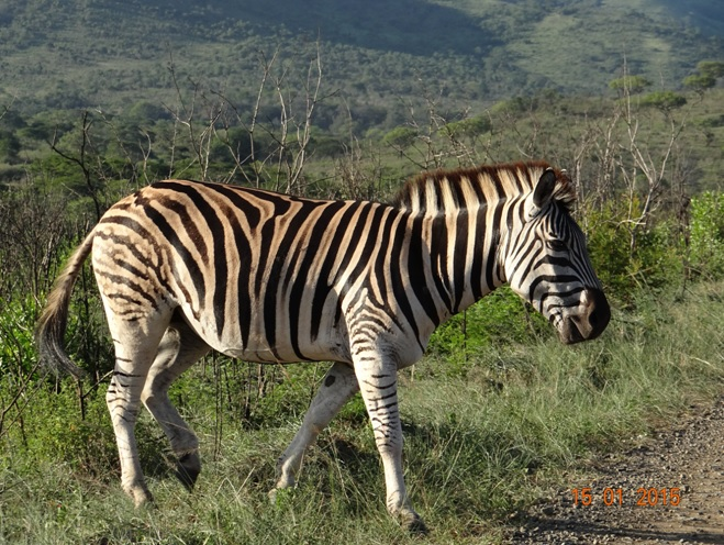 Durban 3 day safari tour; Zebra crossing