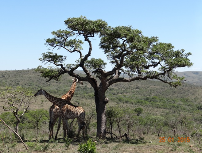 Durban Safaris; Giraffe under the shade of a Marula tree