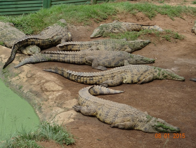 Durban day tour, Crocodiles at a reptile park in the valley of 1000 Hills