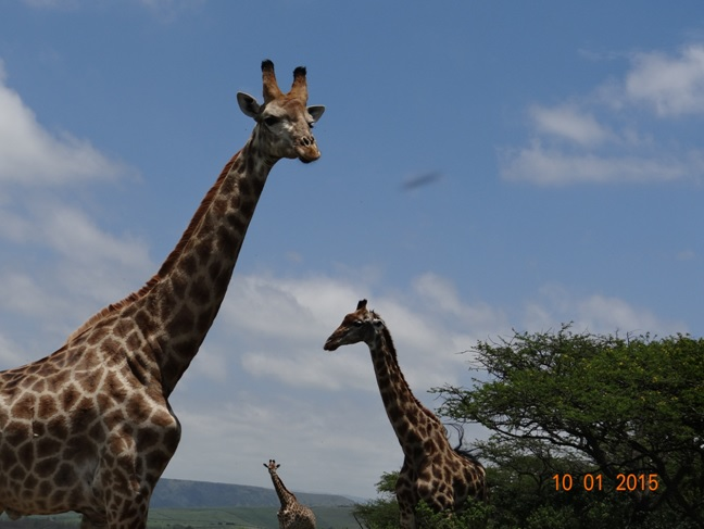 Durban day tour, Giraffe in Tala game reserve