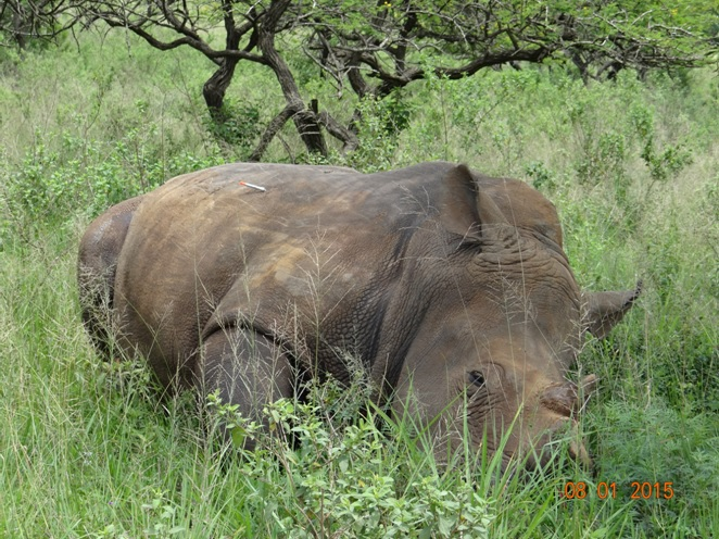 Durban day tour, Rhino darted and dehorned