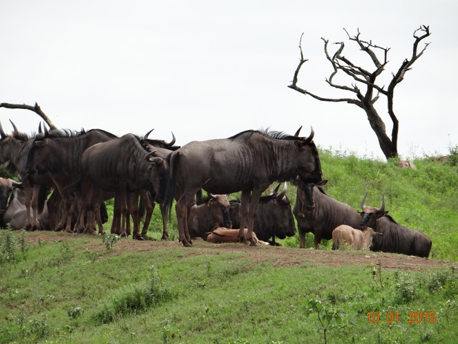 Durban day tour, Wildebeest resting on a ridge