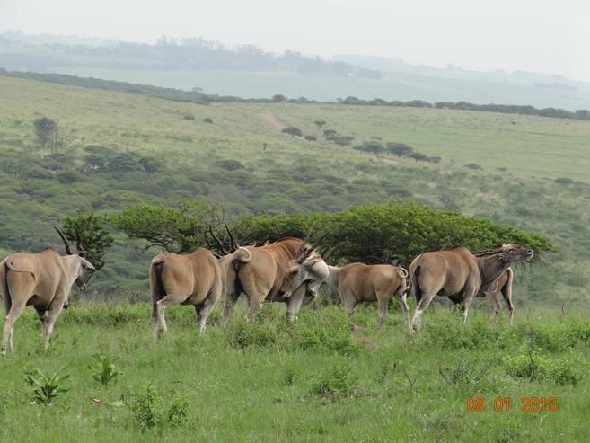 Durban safari Tour, Eland seen in Tala game reserve
