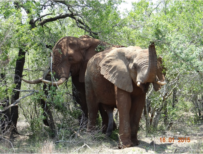Durban safari tour; A 5 legged Elephant