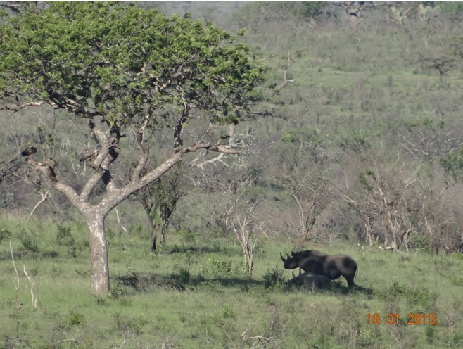 Durban safari tour; Black Rhino and calf
