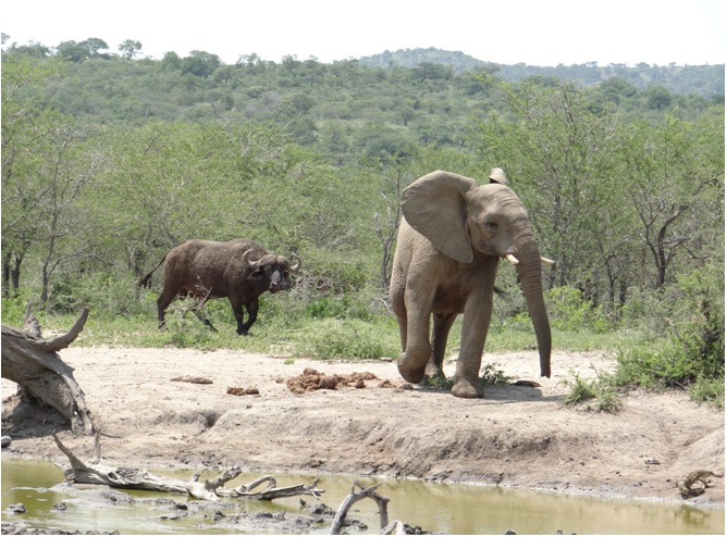 Durban safari tour; Buffalo, Elephant and Monitor Lizard