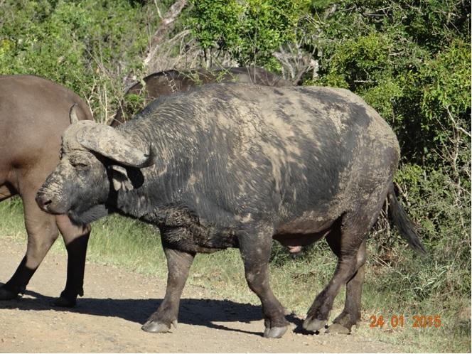 Durban safari tour, Buffalo