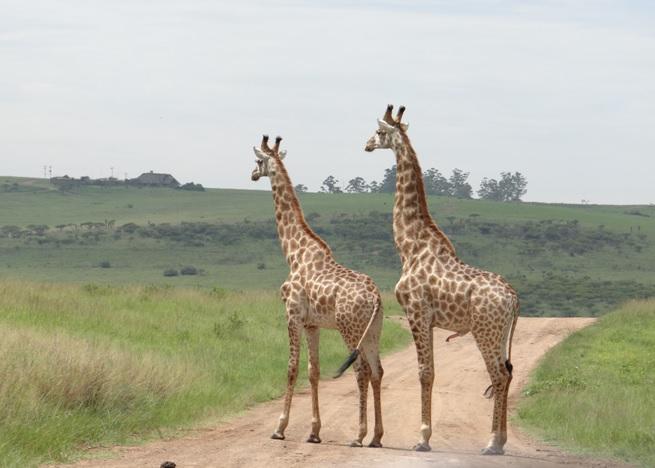 Durban safari tour, Giraffe dominance