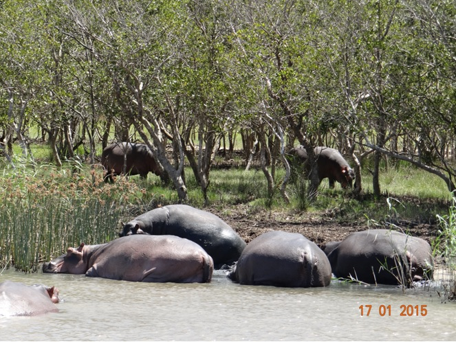 Durban safari tour; Hippos at St Lucia wetlands