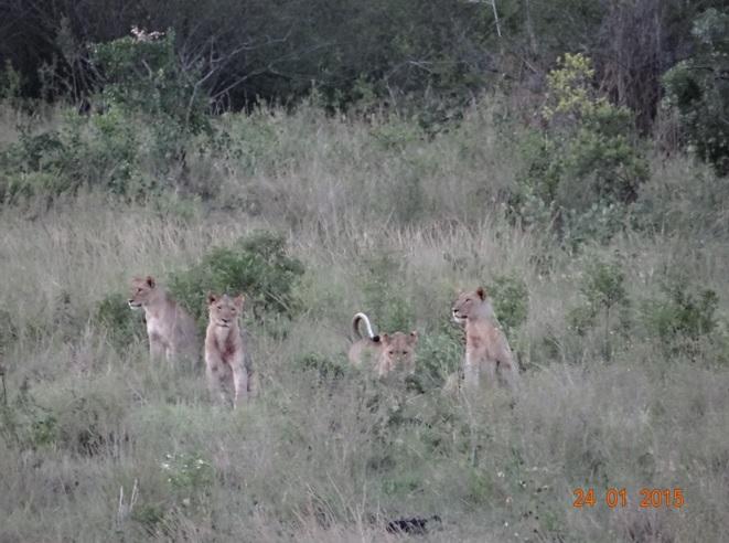 Durban safari tour, Lions of Hluhluwe