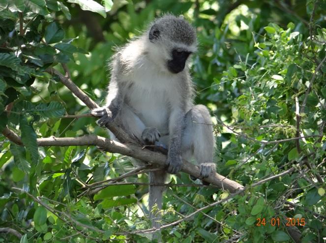 Durban safari tour, Vervet monkey