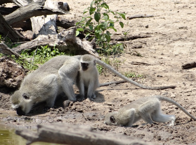 Durban safari tour; Vervet monkeys drinking