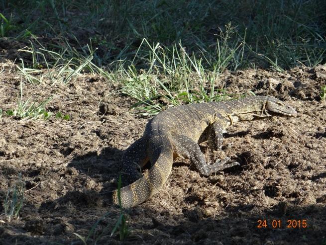 Durban safari tour, Water monitor Lizard
