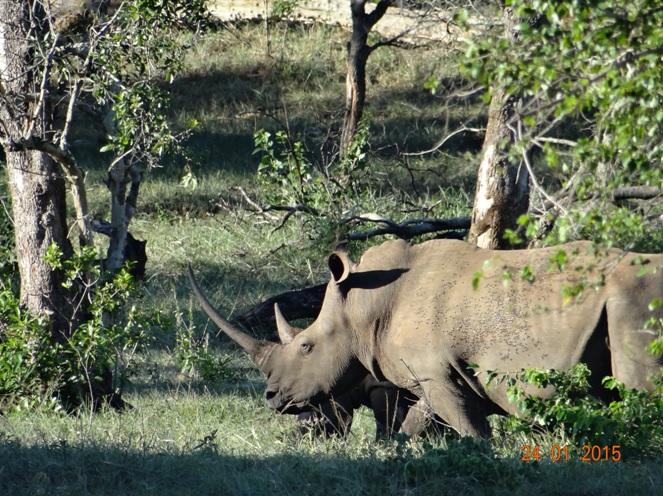 Durban safari tour, White Rhino and calf