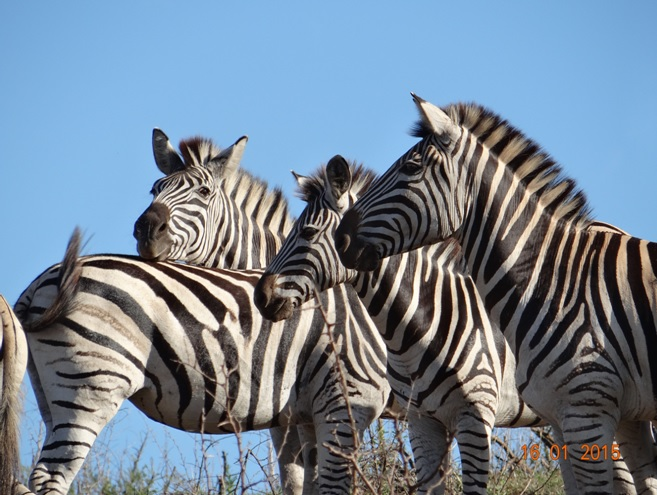 Durban safari tour; Zebras