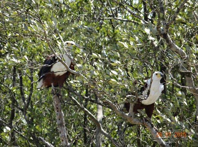 Durban safaris; African Fish eagles at St Lucia