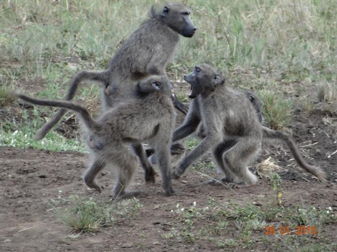 Durban safaris; Baboon playing and mating