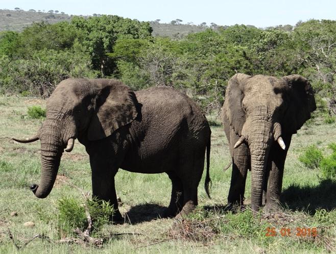 Durban safaris; Elephant Bulls