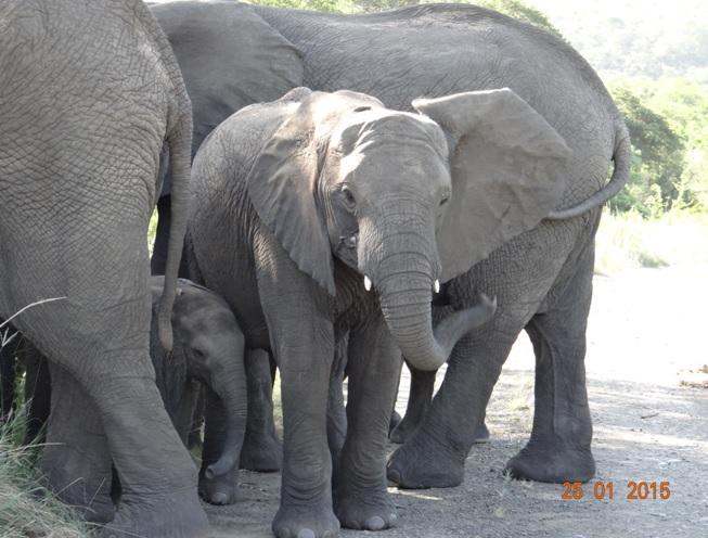 Durban safaris, Elephant babies