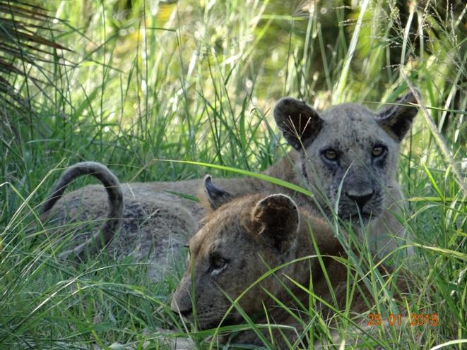Durban safaris, Lion cubs