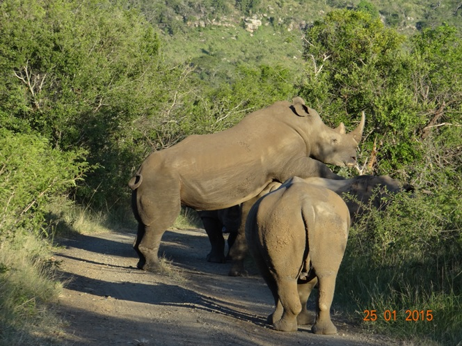 Durban safaris; Mating Rhinos