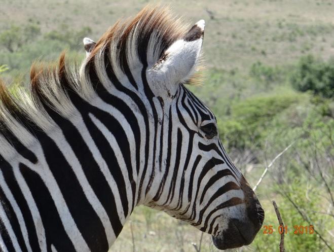 Durban safaris; Plains Zebra