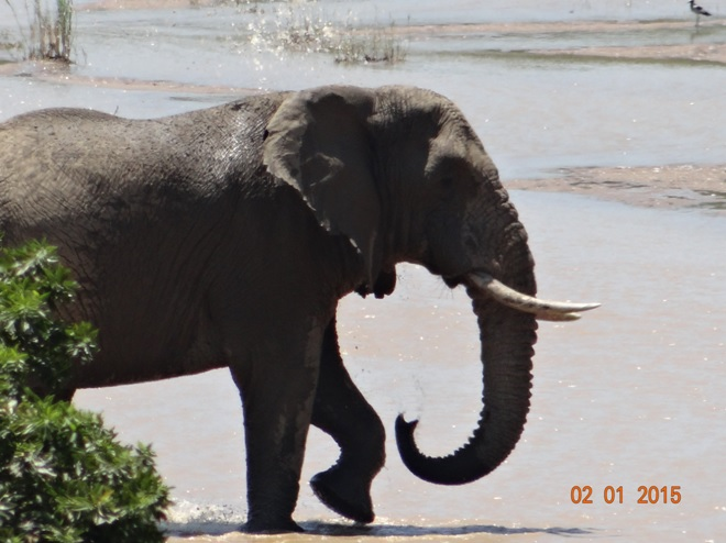 Elephant crosses the Umfolozi river on our Durban day safari tour