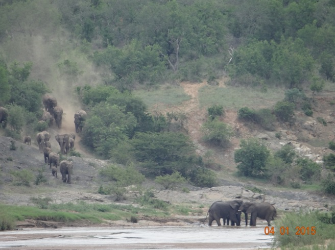Elephants storm down to the Umfolozi river for a drink